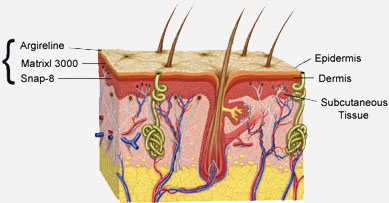 figure2: skin epidermal layers